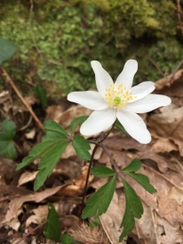 Anemone nemorosa - wood anemone