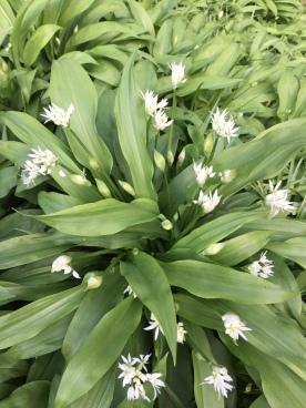Allium ursinum - ramsons